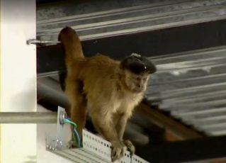 Macaco fica preso por 32 horas em supermercado. Foto: Reprodução/Televisão