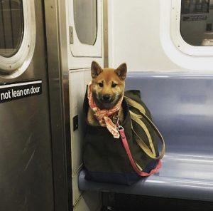 Cachorro sendo transportado no metrô de Nova York. Foto: Reprodução