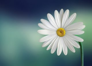 Flor. Foto: Pexels
