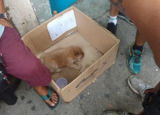 Guardas municipais resgatam filhote de Chow-chow vítima de maus tratos. Foto: Divulgação