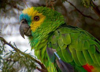 Papagaio. Foto: Reprodução