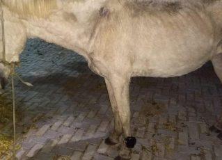 Cavalo com tornozeleira eletrônica é encontrado no Ceará. Foto: Reprodução de Internet